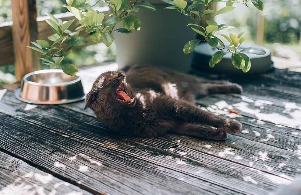Chat qui baille sur terasse, avec gamelle