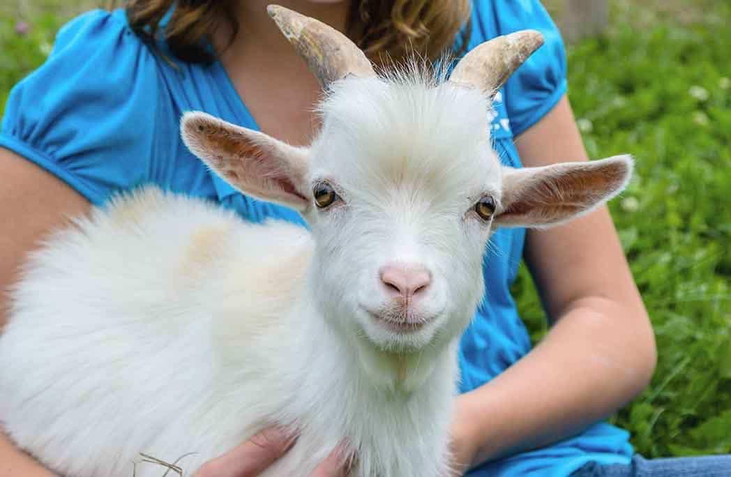 Petite fille tenant une chèvre naine blanche