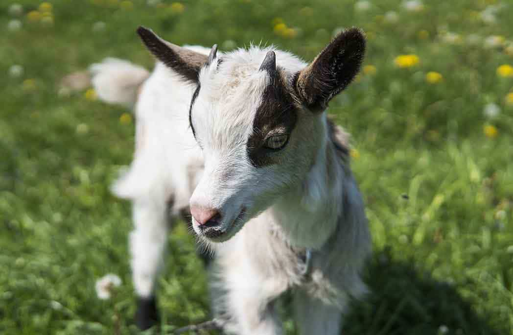Chèvre naine noire et blanche dans un pré