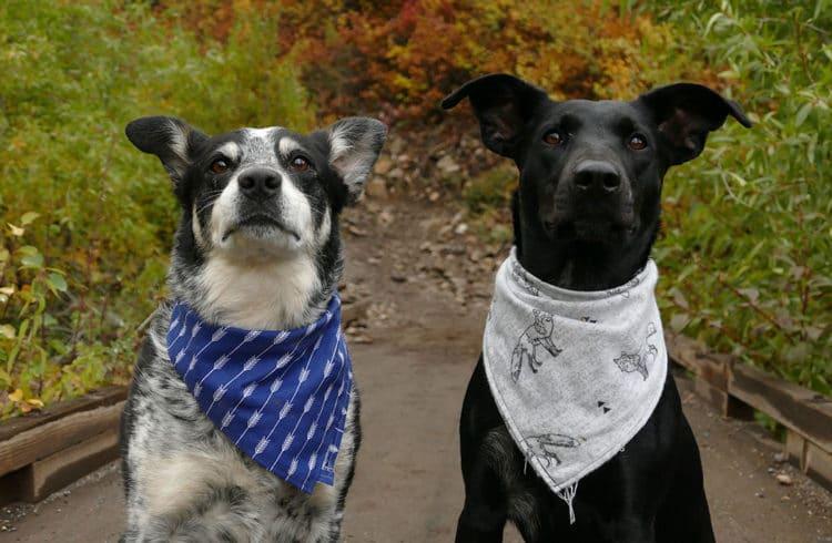 Deux chiens assis dehors avec des bandanas autour du cou
