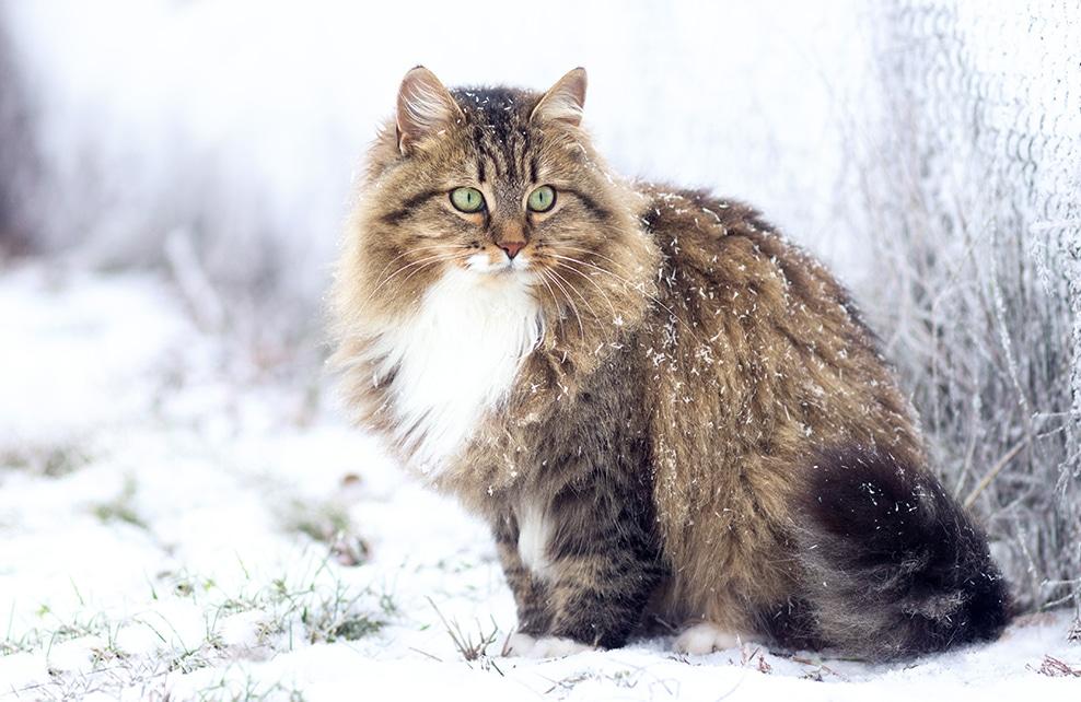 chat sibérien dans la neige