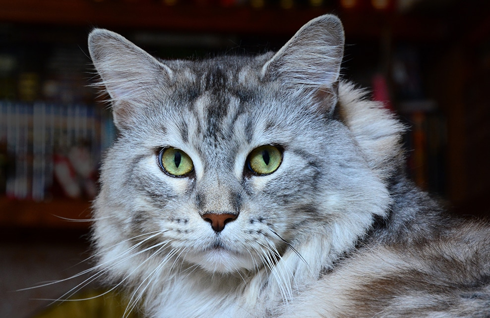gros plan chat norvégien