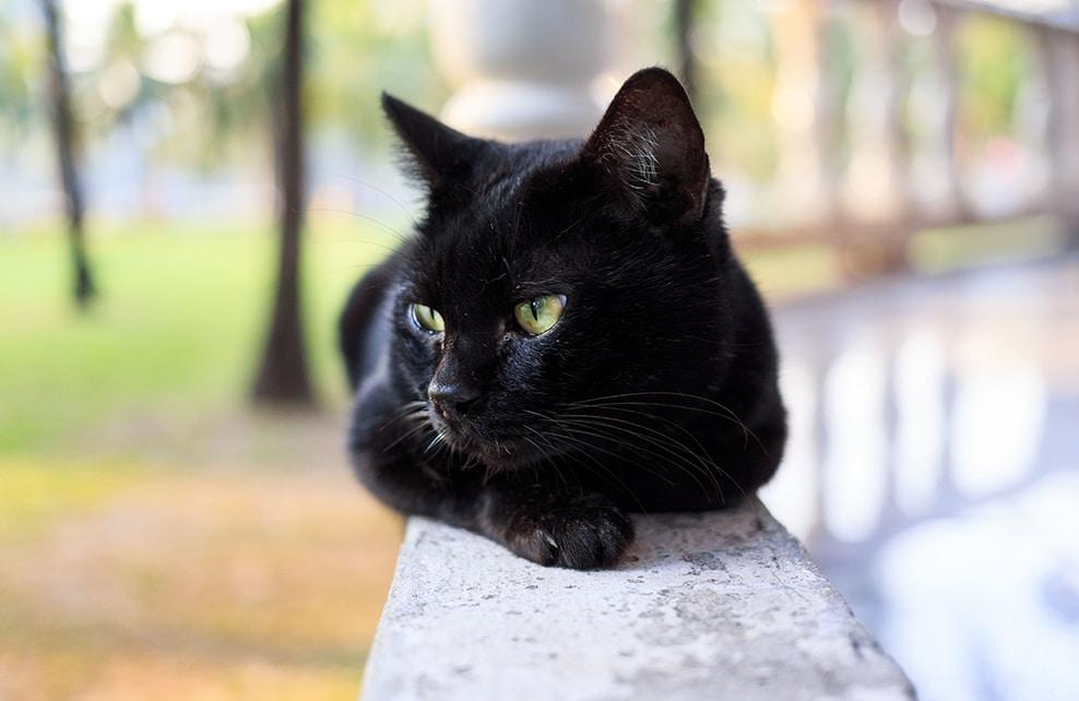 Chat bombay regard au loin allongé sur un muret