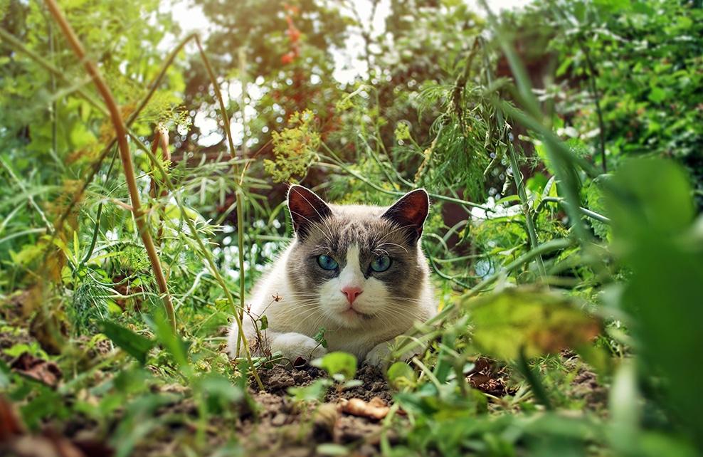 Chat Ragdoll dans la forêt