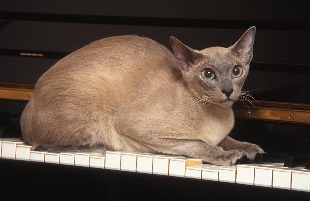 chat tonkinois sur un pieano