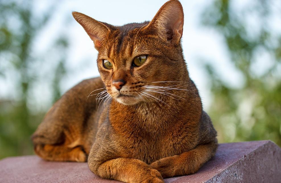 chat abyssin regard au loin allongé