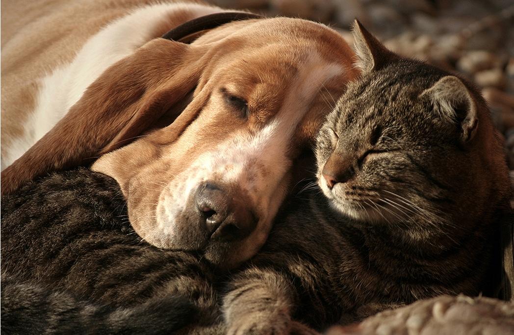 Top 10 des races de chats qui cohabitent parfaitement avec les chiens