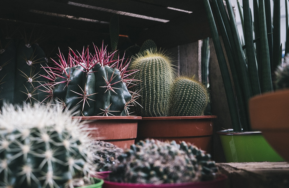 cactus en bord de fenêtre