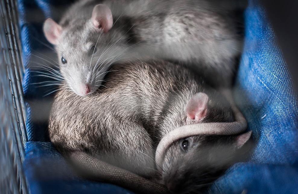 deux rat alongé et entrelassés dans une cage