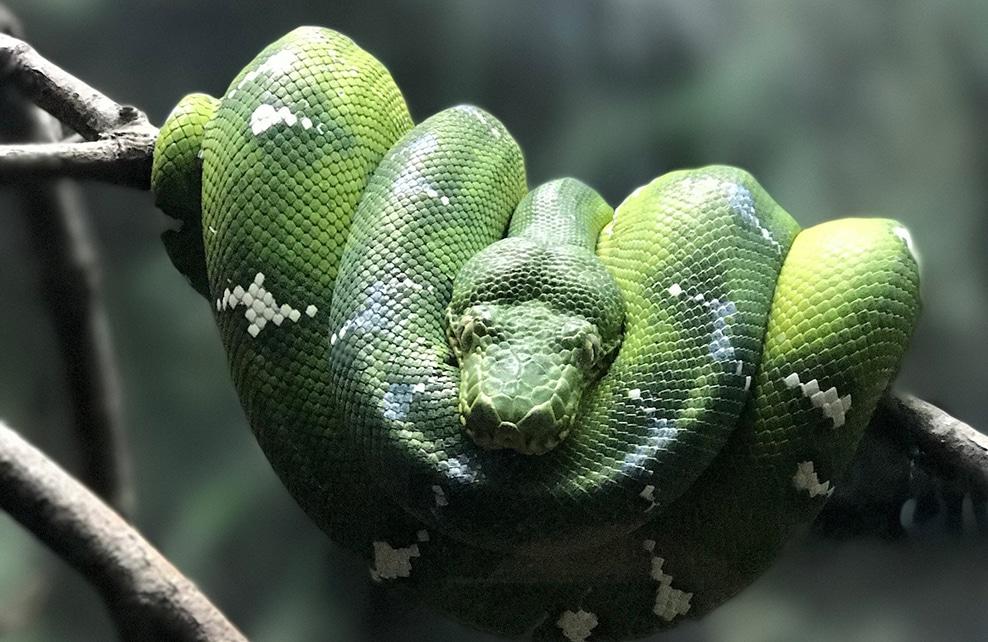 serpent vert enroulé sur sa branche