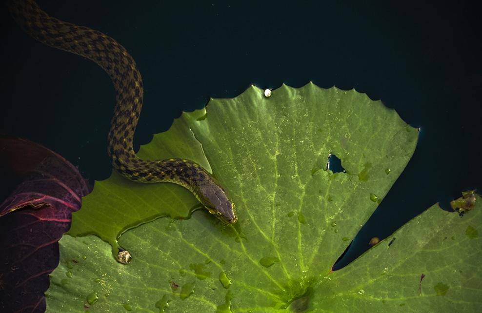 serpent dans l'eau venant sur un nénuphar