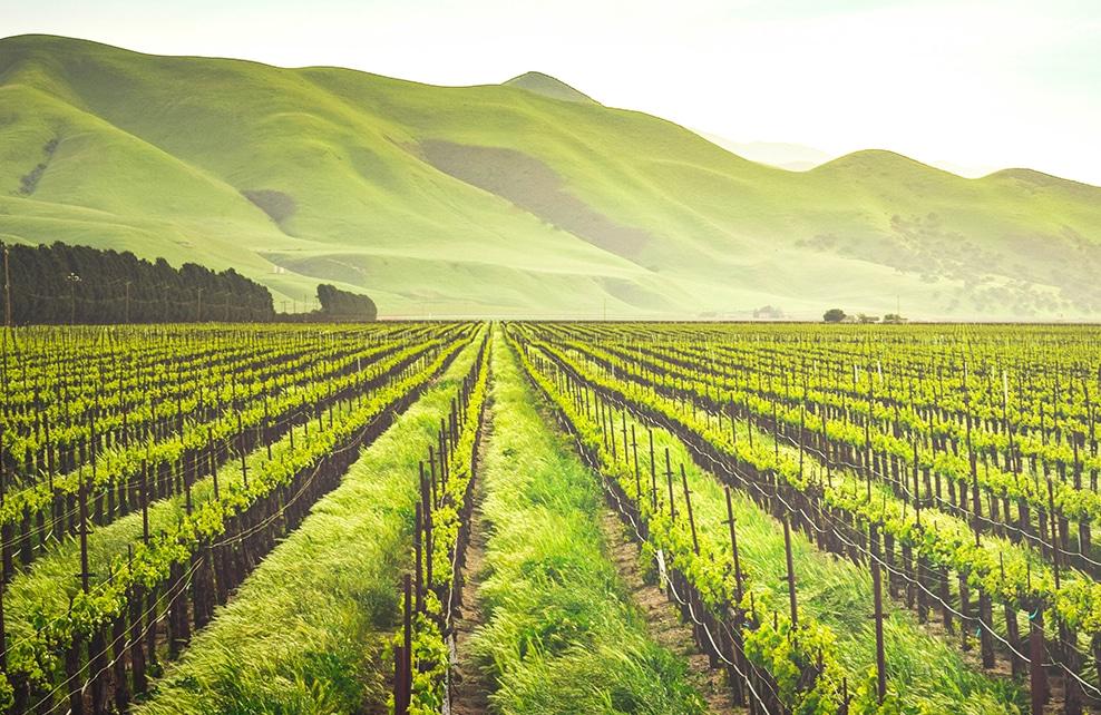 vigne verdoyante avec la montagne en arrière plan