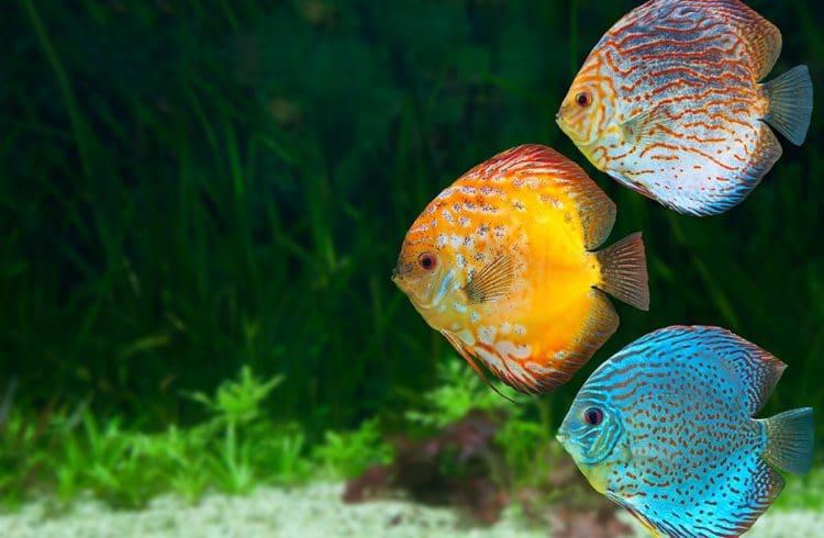 Trois poissons colorés dans un aquarium