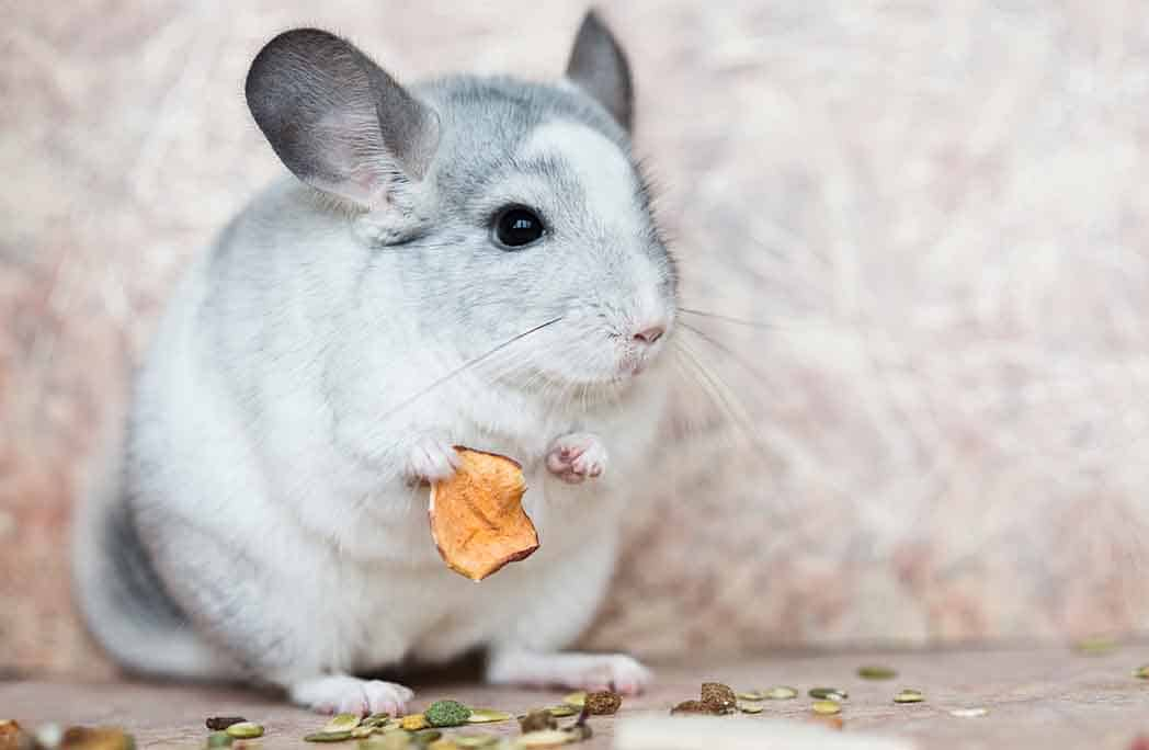 Chinchilla gris clair en train de manger