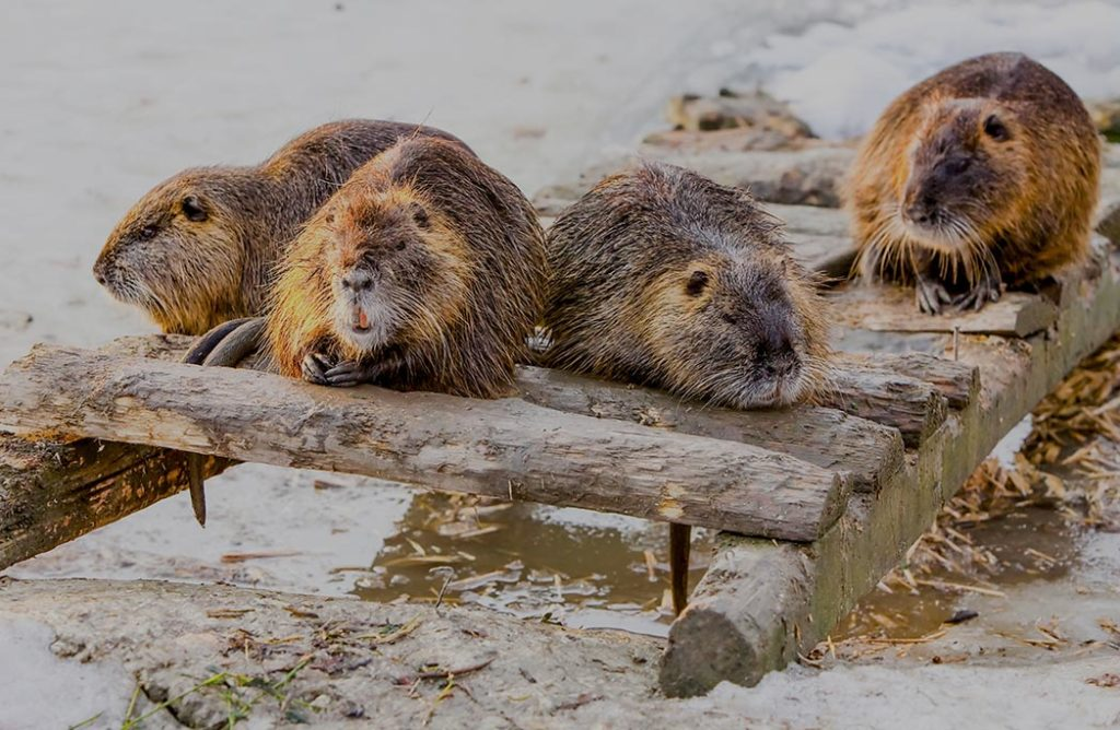 Le plus grand barrage de castors découvert grâce à Google Earth