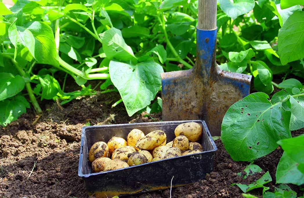 Pommes de terre dans un potager