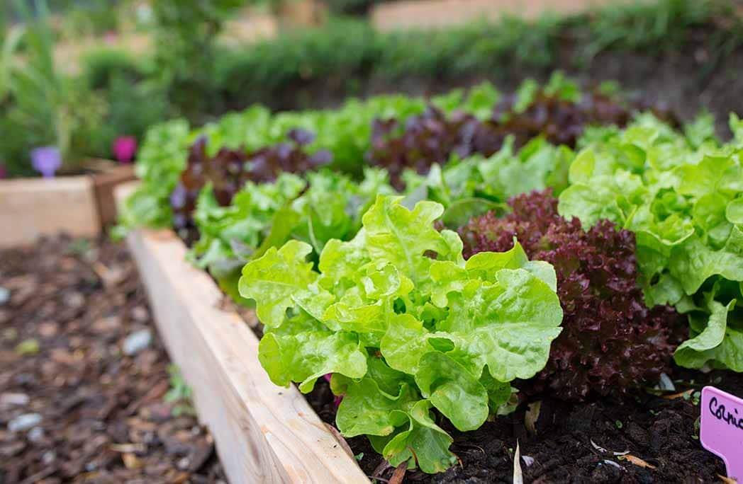 Salades dans potager