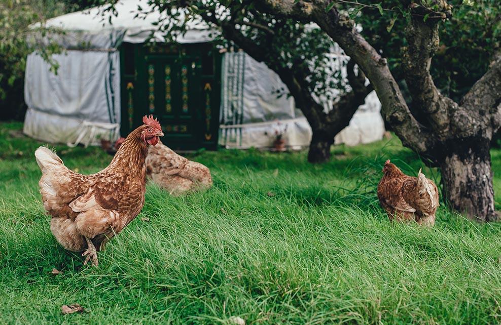 Poulailler dans un jardin