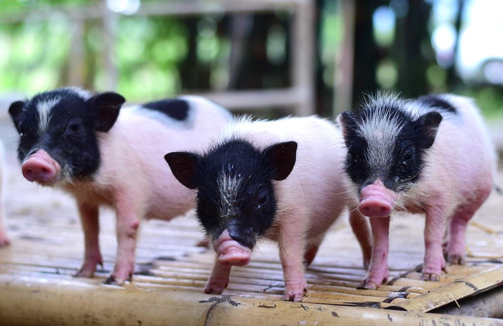 Photo de 3 cochons nains roses et noirs