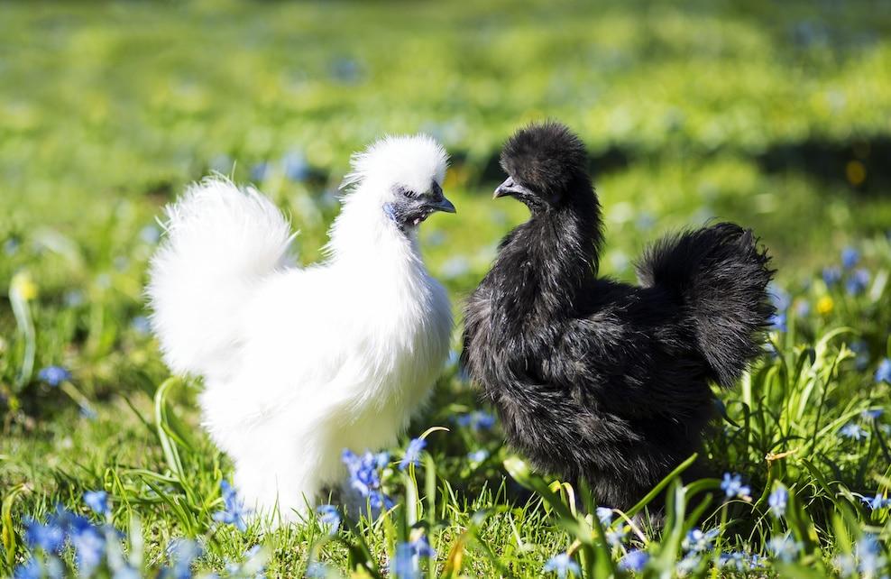 Deux poules Soie en face l'une de l'autre