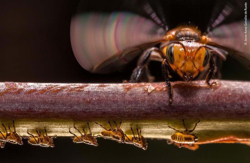 Une abeille protégeant une armée de fourmis