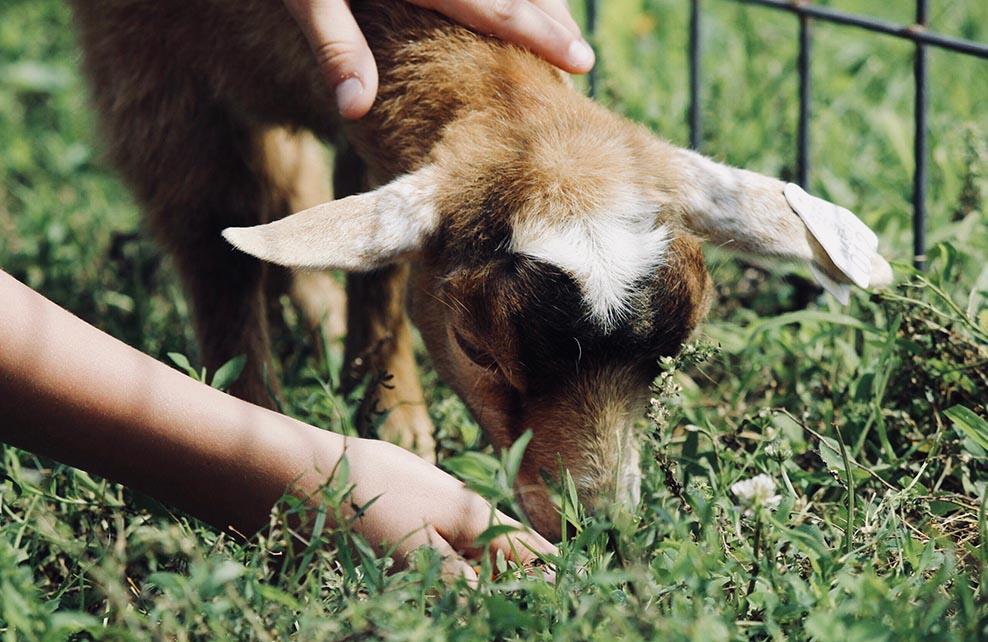 Main d'une personne en train de donner à manger à une chèvre