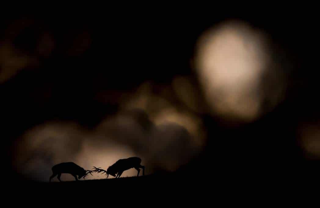 Deux cerfs se battant au clair de lune