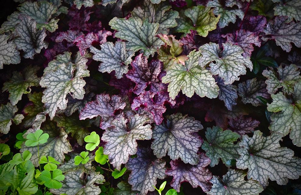 Massif d'heuchères violettes