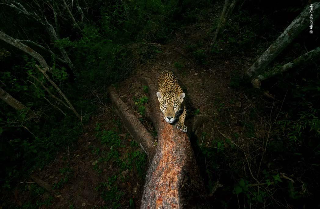 Jaguar grimpant sur un arbre