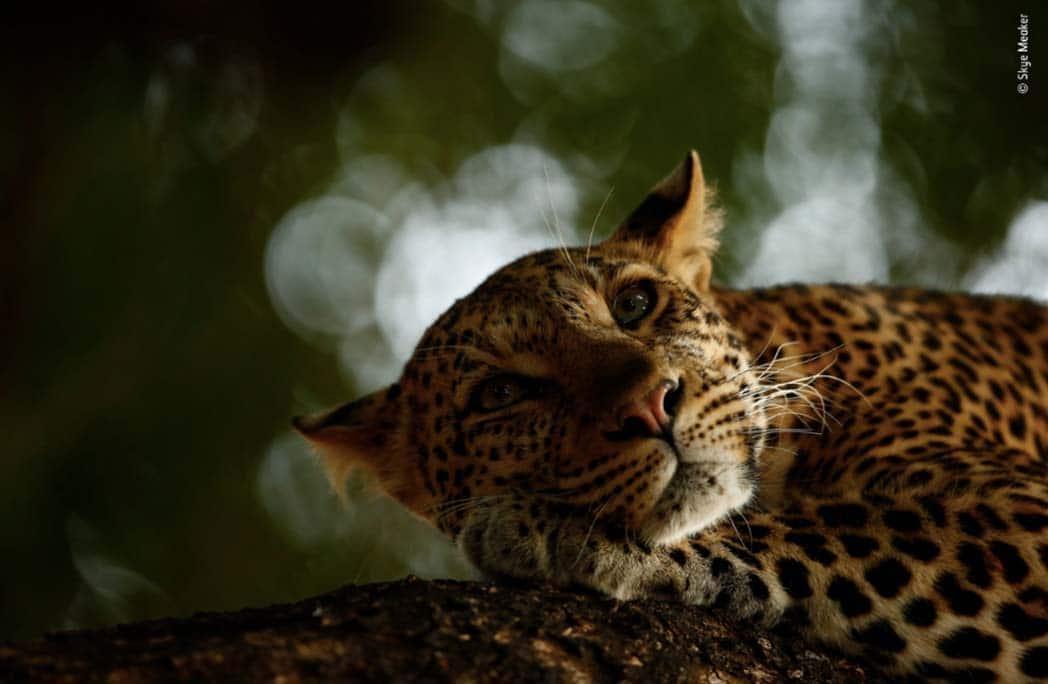 Léopard assoupi les yeux ouverts sur une branche d'arbre