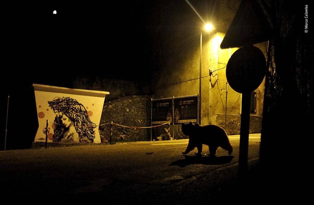 Jeune ourse se baladant dans les rues la nuit