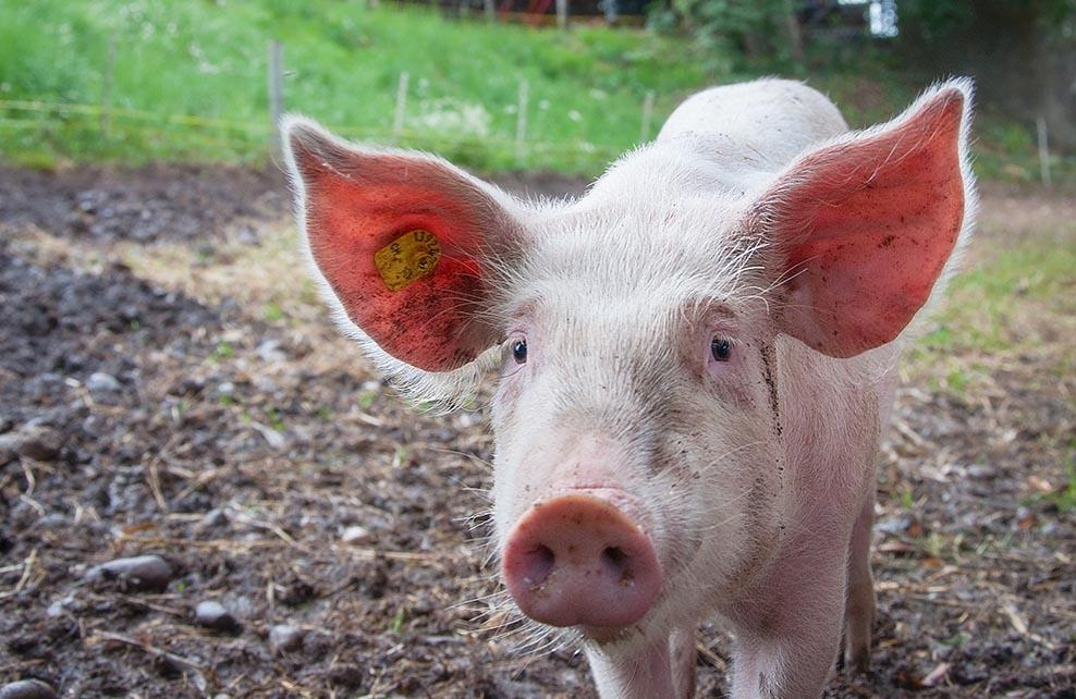 Cochon dans une ferme
