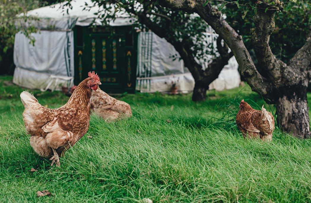 Poules dans un jardin