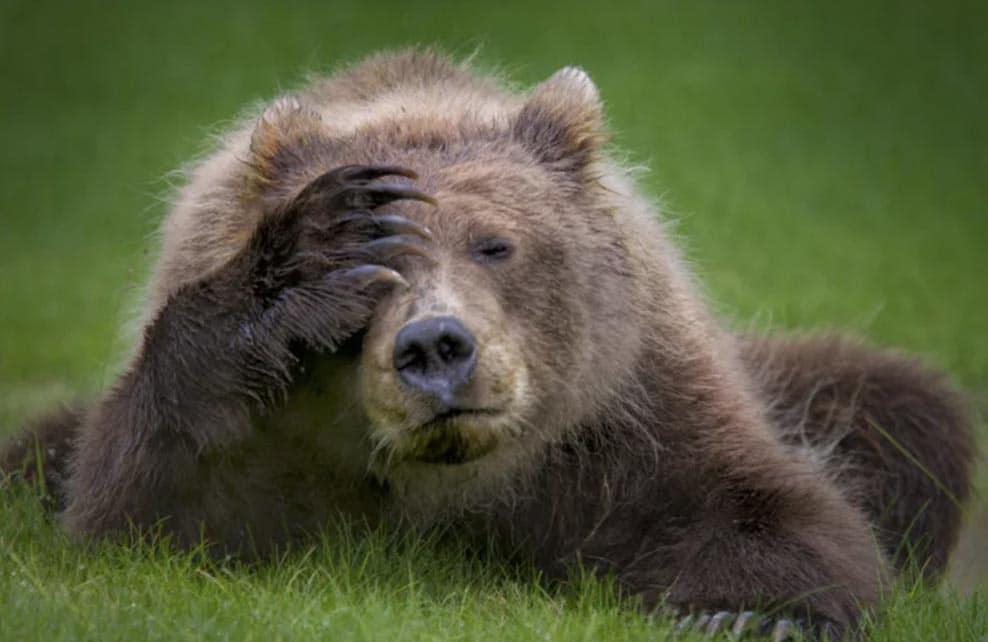 Ours brun qui se tient la tête