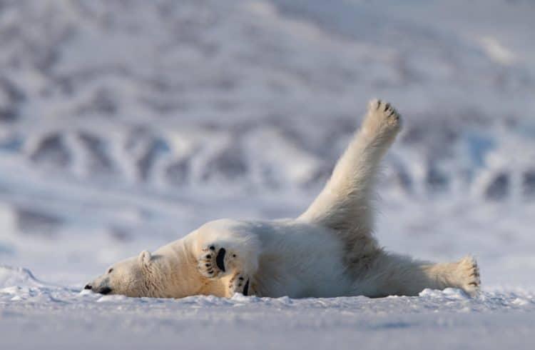 Ours polaire couché sur la neige avec une patte en l'air