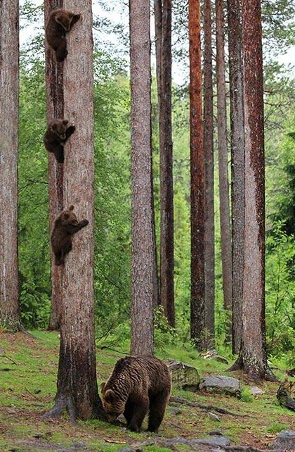 Trois oursons agrippés à un arbre pendant que leur mère attend au pied