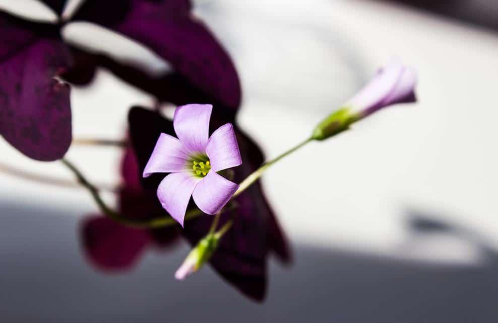 Gros plan sur une oxalis triangularis en fleurs