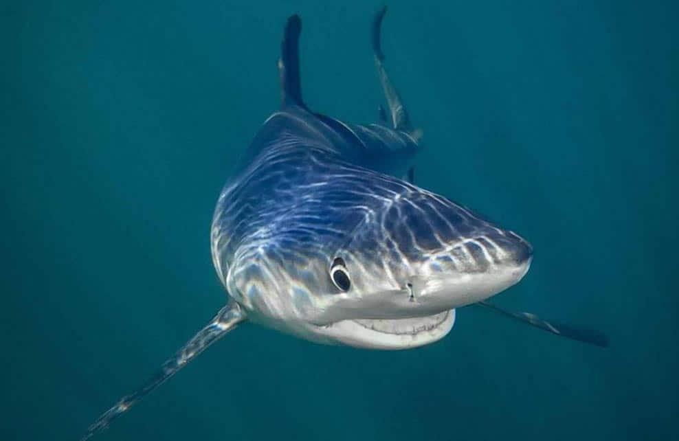 requin en gros plan