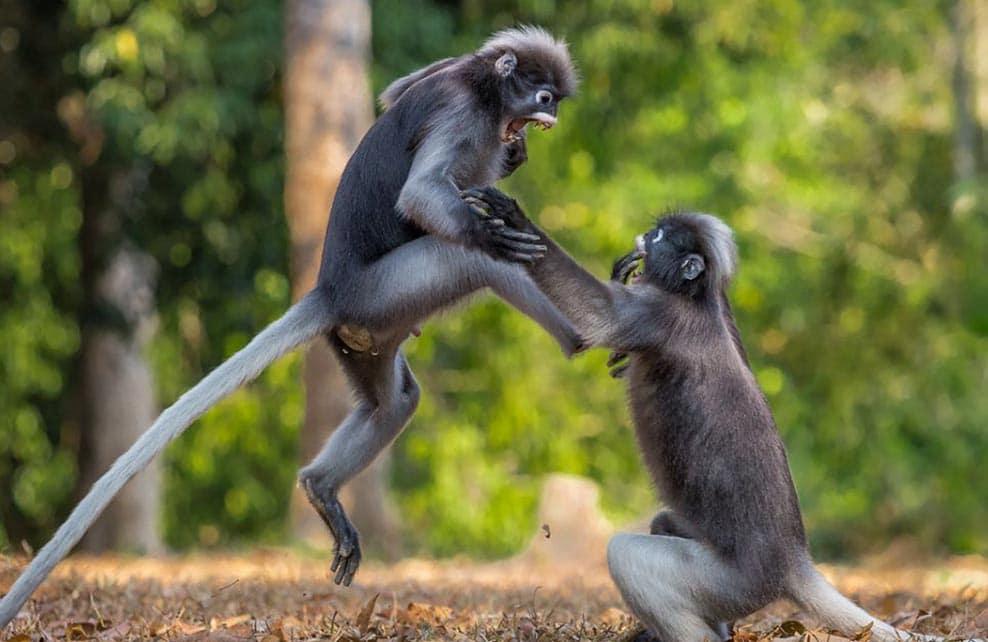 Deux singes qui se battent