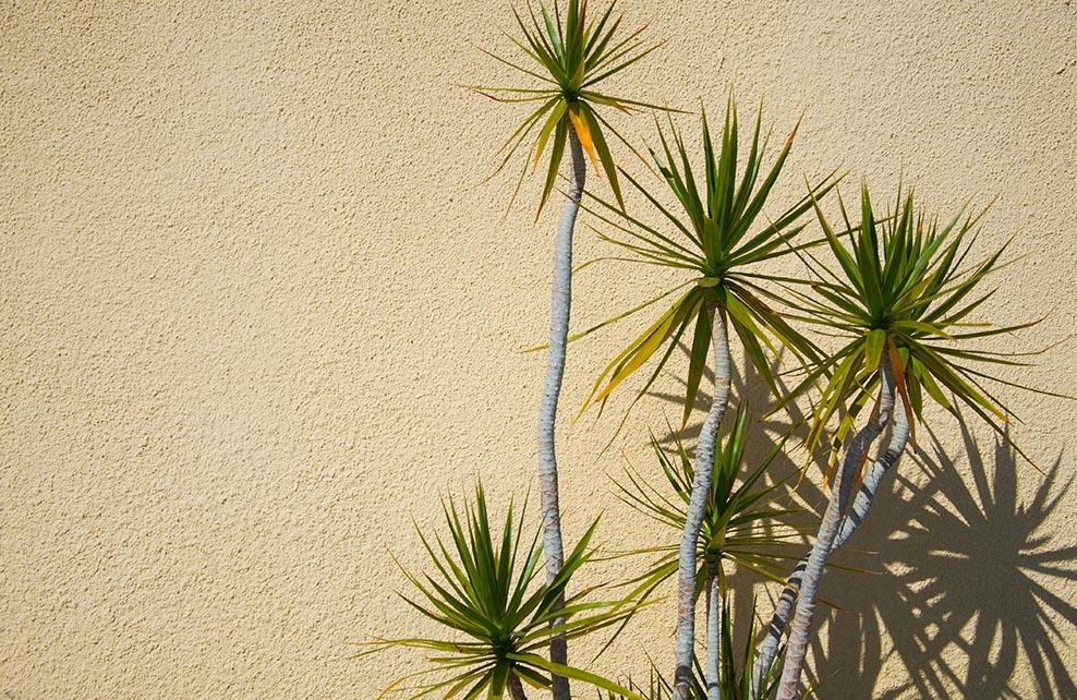 Yuccas en extérieur