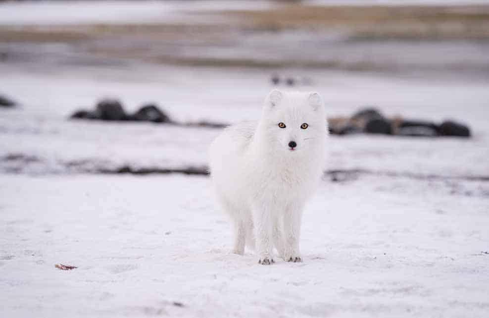Renard polaire dans la neige
