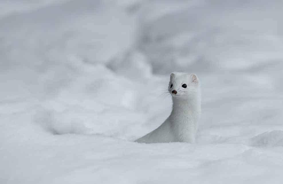 Hermine blanche dans la neige l'hiver