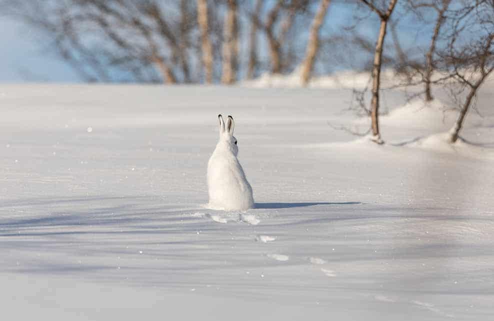 Lièvre variable dans la neige de dos