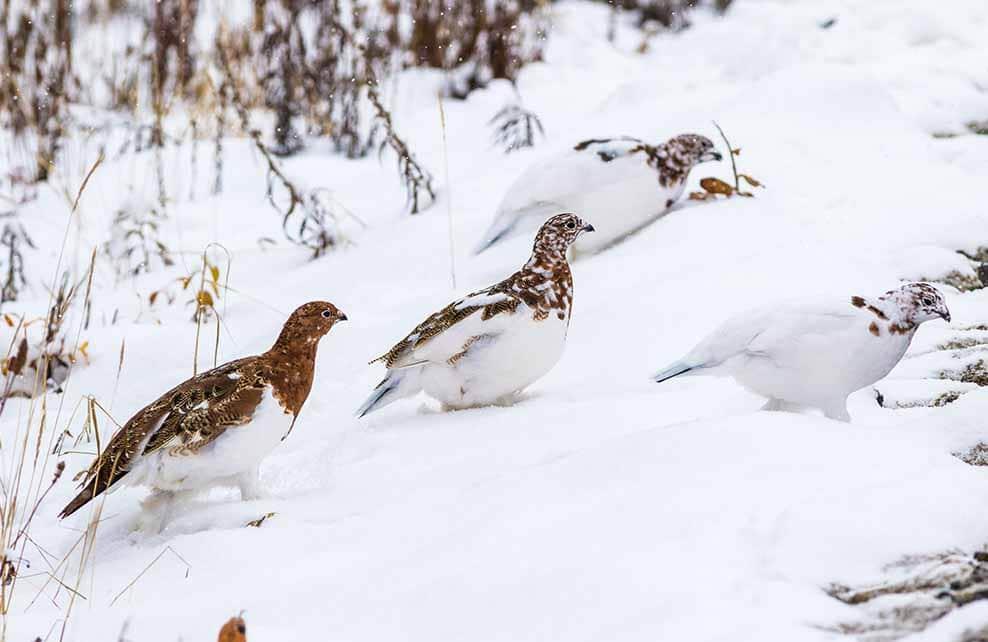 Perdrix des neiges dans la neige l'hiver