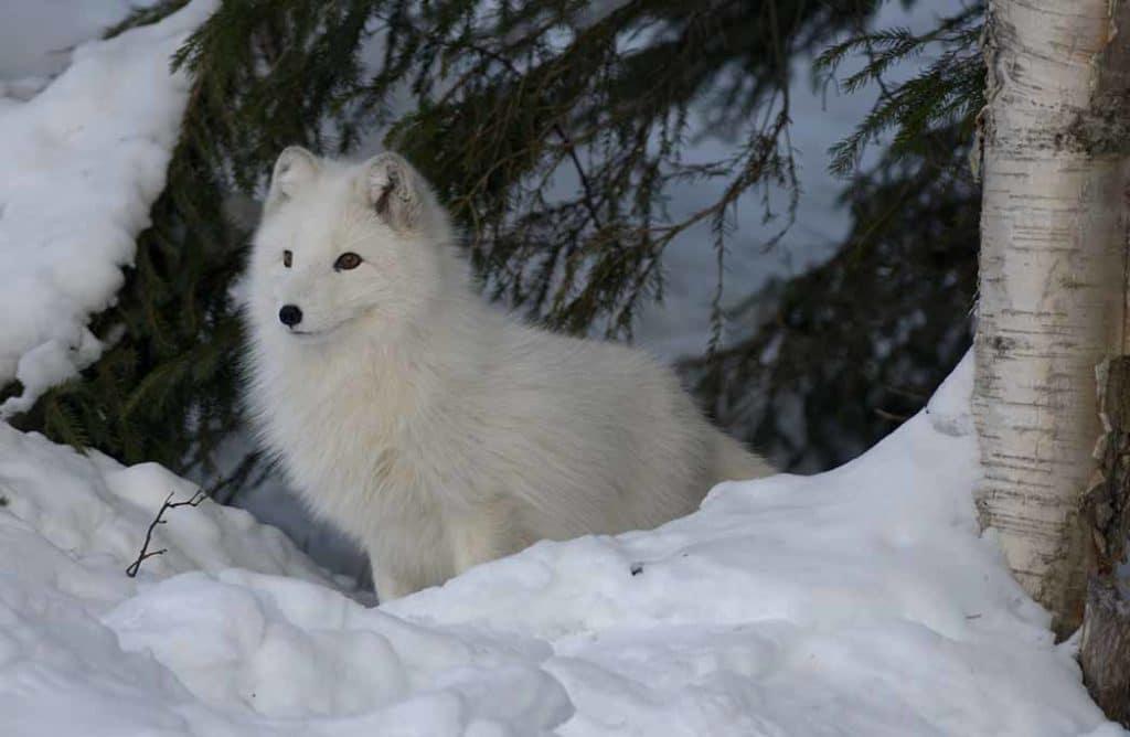 Les animaux rois du camouflage en hiver