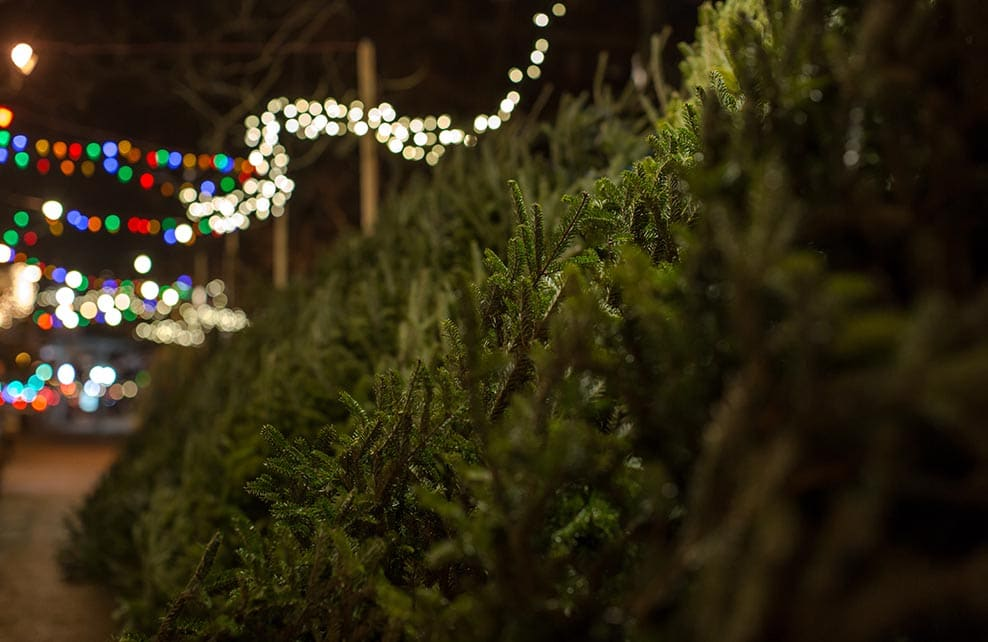 Sapins de Noël en extérieur