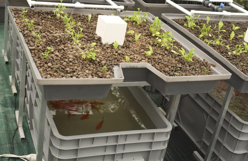 Système d'aquaponie : plantes qui poussent à l'aide de poissons