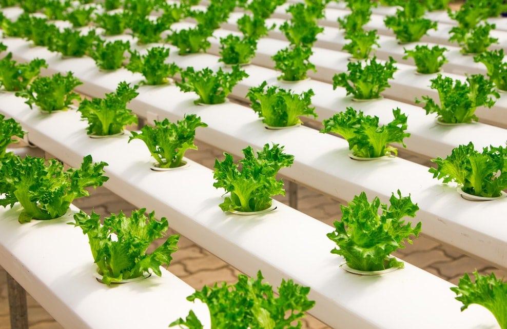 Culture de légumes