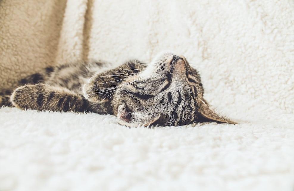 Chat endormi sur une couverture