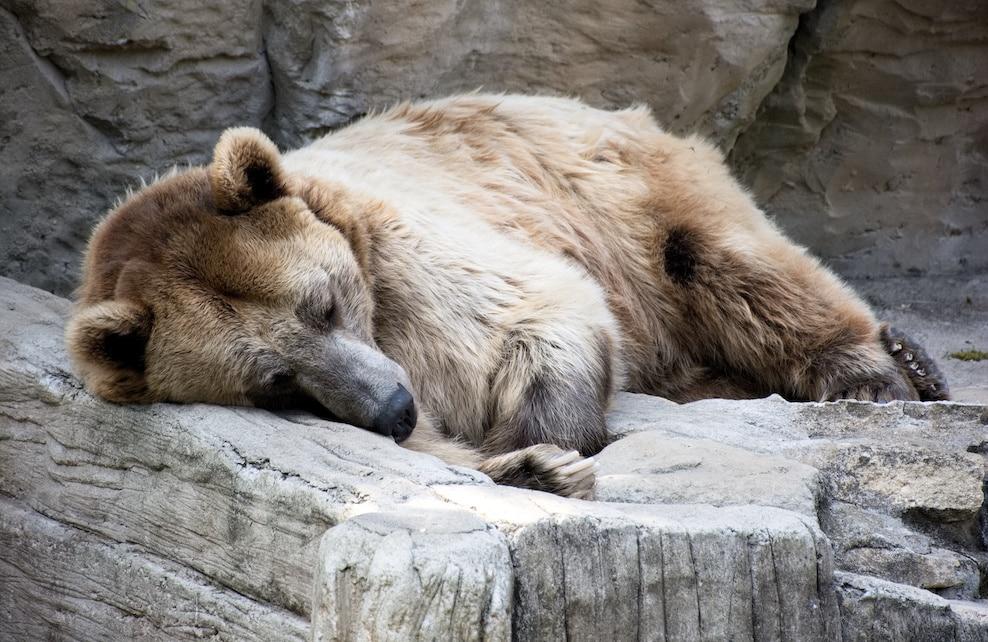 Ours brun endormi sur un rocher